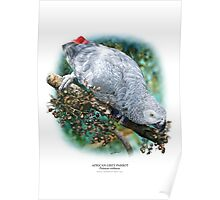 AFRICAN GREY PARROT POSTER 2 Poster