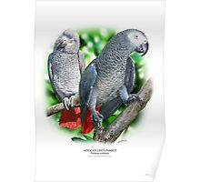 AFRICAN GREY PARROT POSTER 3 Poster