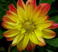 Yellow And Red Dahlia by swaby