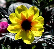 Dahlia Hybred by swaby