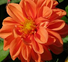Orange Dahlia by swaby