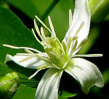 White Fall Clematis by swaby