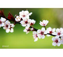 flowering plum Photographic Print
