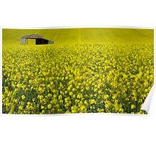 Rape Seed Field Poster