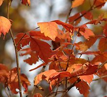 Colors Of Autumn @ Lacey-Keosauqua State Park  by angelandspot