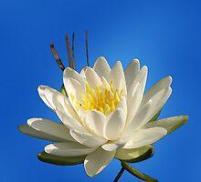 A Lily For Tenia by Stan Wojtaszek