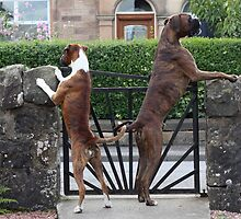 Guard Dogs by boxerportraits