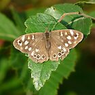 Speckled Wood (Parage aegeria) by Tony4562
