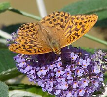 Silver-washed fritillary (Argynnis paphia) by Tony4562