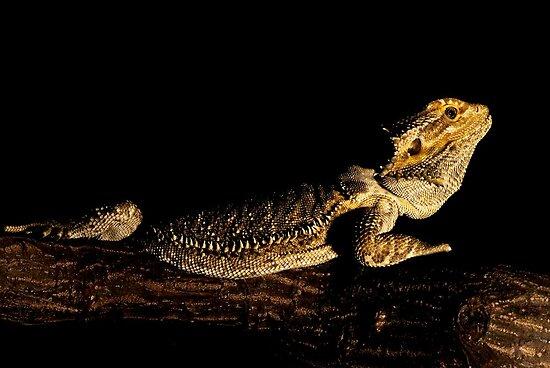 water dragon by Matt Sillence