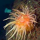 SnakeLock Anemone by Greg Amptman