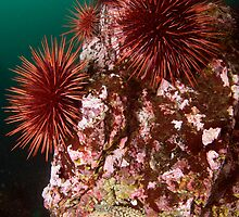 Urchin Colony by Greg Amptman
