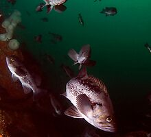 Black Rock Fish by Greg Amptman