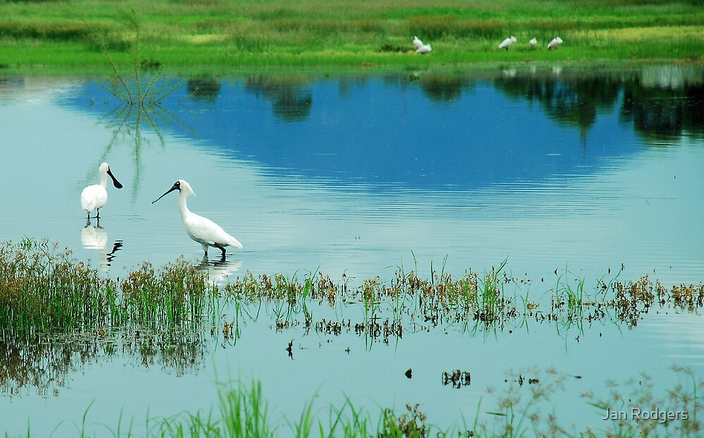 Royal Spoonbills with Mount Roundback Reflection by Janette Rodgers