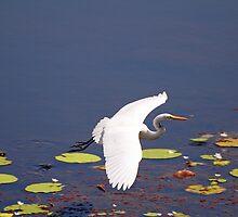 Intermediate Egret at Tyto Wetlands Ingham by Janette Rodgers