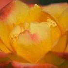 Confetti Rose by garts