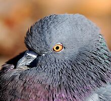 Laid Back Pigeon by Ron Kube