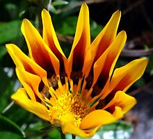 A Partially Opened Yellow and Burgundy Petal Gazania by taiche
