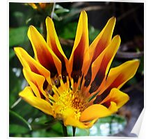 A Partially Opened Yellow and Burgundy Petal Gazania Poster