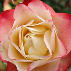 Pink and White Rose by Harvey Schiller