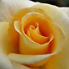 Yellow Rose by Harvey Schiller