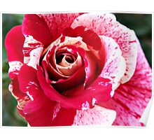 Red Pink Rose Flecked Poster