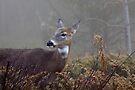 Buck in fog eyes doe -White-tailed Deer by Jim Cumming