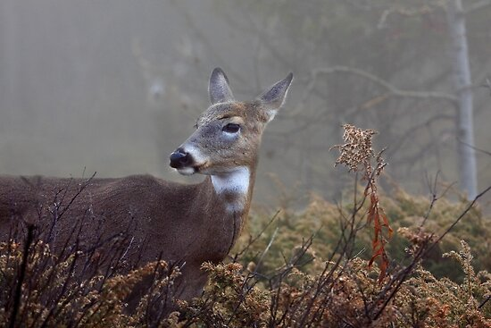 Buck in fog eyes doe -White-tailed Deer by Jim Cumming