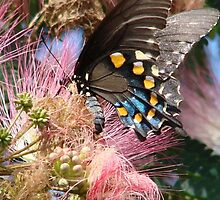 Pipevine Swallowtail Butterfly in Mimosa's Silky Blossoms by Jean Gregory  Evans