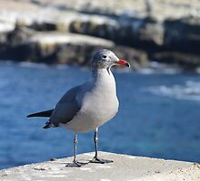 Juvenile Seagull ~ La Jolla, California by Marie Sharp