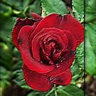 A Red Red Rose by LoneAngel