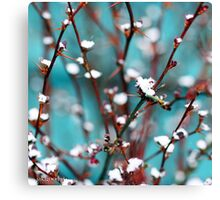 spring snow on barberry Canvas Print