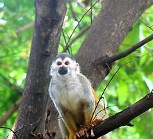 Squirrel Monkey by denisescreation