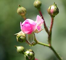 The boon of her roses by WalnutHill