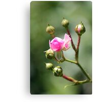 The boon of her roses Canvas Print
