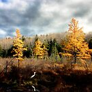 Heron in Larch Bog - Warren, New Hampshire by Wayne King