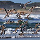 Crested Terns in flight by Garth Smith