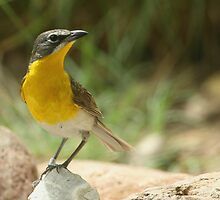 Warbler, Yellow-breasted Chat by tonybat