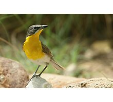 Warbler, Yellow-breasted Chat Photographic Print