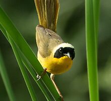 Warbler, Common Yellowthroat by tonybat
