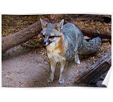 Blue Fox - Arizona Sonoran Desert Museum Poster