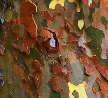 SYCAMORE BARK by Chuck Wickham