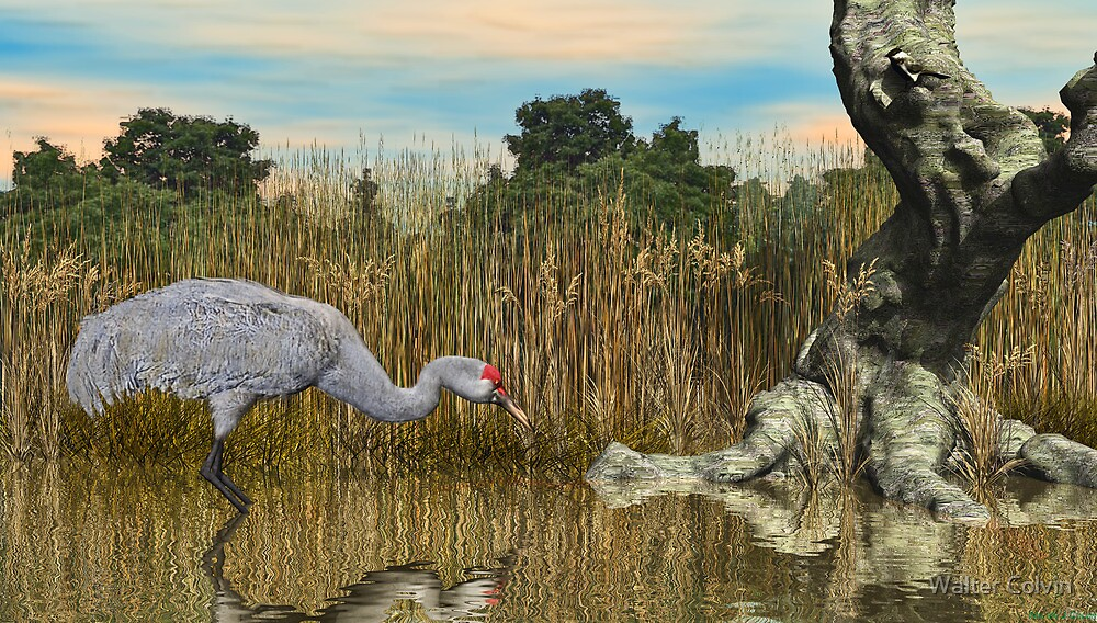 Sandhill Crane by Walter Colvin