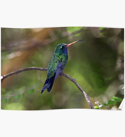 Costa's Hummingbird - Tucson Botanic Gardens Poster