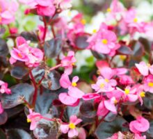 flowering Begonia semperflorens clumps Sticker
