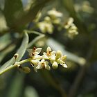 Olive Blossom by Maryanne Lawrence
