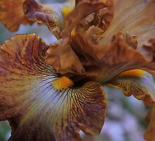 Bearded Iris - copper colour by samhicks