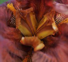 Macro look at Bearded Iris by samhicks