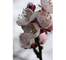 Apricot Blossom Photographic Print
