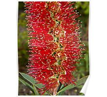 Bottle brush flower Poster